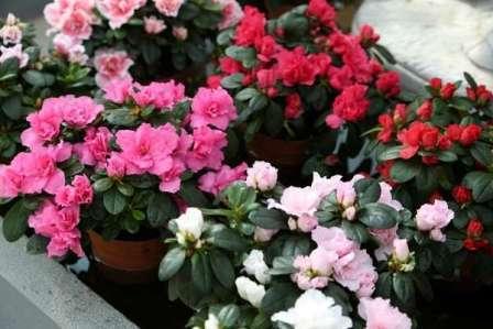 Это одно из самых распространенных комнатных растений. На фото видно, какими высокодекоративными свойствами оно обладает.