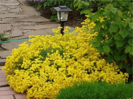 Выбирая алиссум для посадки на даче, важно помнить, что это растение отличается высокой любовью к солнцу.