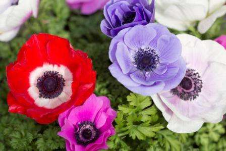 На фото продемонстрирован цветок под названием анемона.