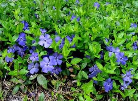 Барвинком называют многолетнюю стелющую культуру с нежными цветами, способную за короткое время занять обширную площадь.