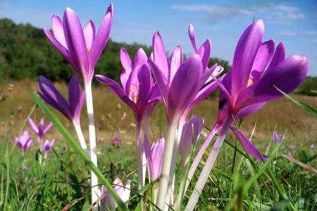 Мельком взглянув на фото с безвременником, его легко можно принять за крокус. Отличает его цветы в основном более крупный размер и яркий аромат.
