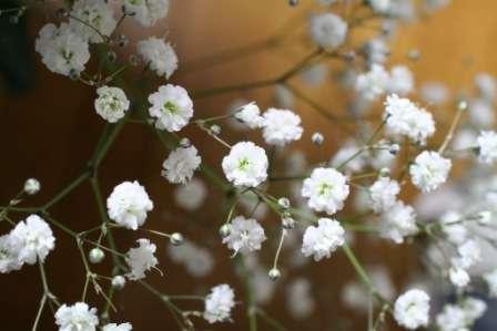 Оригинальное растение под названием гипсофила прекрасно подойдет для солнечного альпинария или для оформления заднего плана любого цветника.