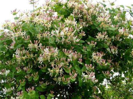Симпатичные кустики с розовыми цветочками, растущие на многих дачах, носят название жимолость.