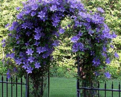 ана с нежными цветочками привлекает многих дачников. Ее название клематис.