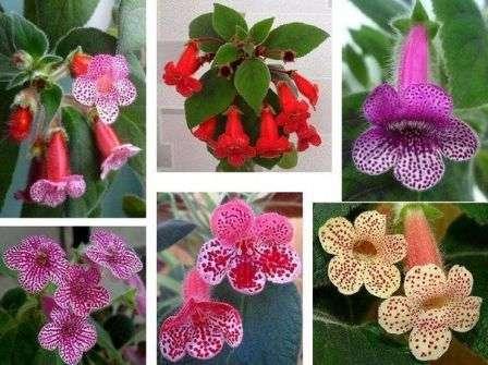 Популярное комнатное растение с летним цветением, является родственником комнатной фиалки.