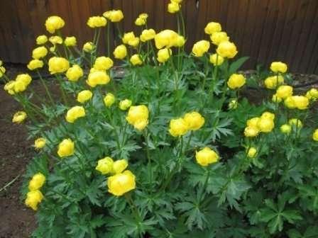 Нежные желтые цветочки, которые вы видите на фото, — это клематисы.