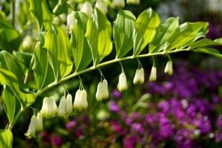 Нежнейшее растение с белыми цветочками-колокольчиками под названием купена — прекрасное дополнение в украшение дачного участка.