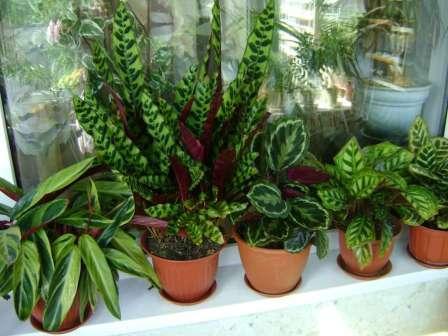 Из красивых комнатных растений без цветов особую любовь снискали представители семейства Марантовые (около 400 видов). В домашних условиях можно встретить различные сорта таких родов: