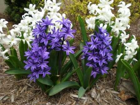 Великолепные нежные цветочки под названием мускари чрезвычайно популярны среди дачников.