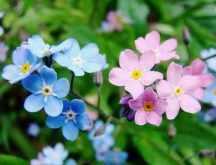 Голубые нежные цветочки незабудок украсят любую дачу.