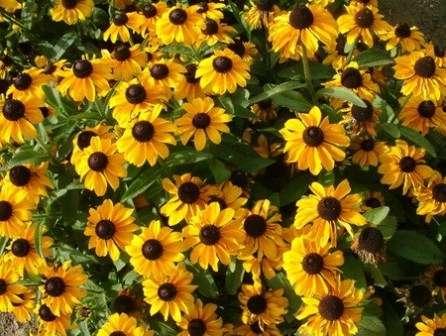 Популярное цветущее растение под названием рудбекия часто используется для оформления дач.