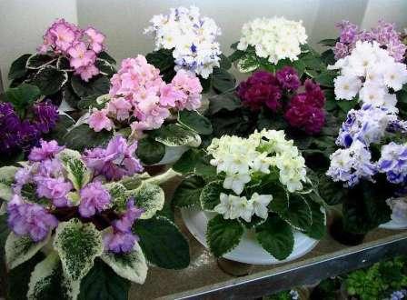 Существует множество разновидностей этого нежного домашнего растения с различными листьями и цветами.