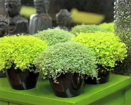 Солейролию нередко подсаживают в вазоны с крупными цветами для увеличения декоративного эффекта.