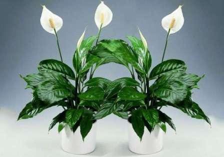 Это очень распространенное растение в народе прозвали женским счастьем.