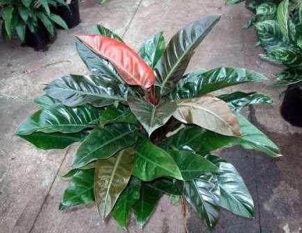 Род Филодендрон представлен множеством разновидностей, основным отличием которых является размер и форма листьев.