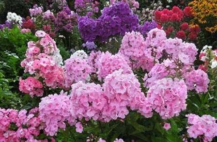 Многолетники под названием флоксы — любимцы многих садоводов.