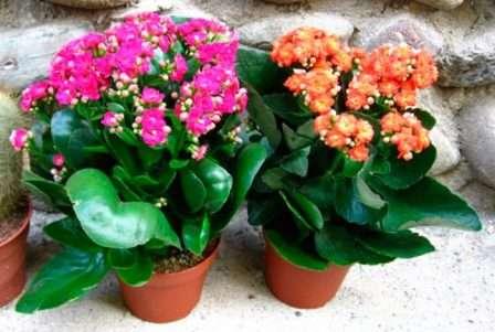 Цветущий каланхоэ — это прелестное украшение для дома (смотрите фото), если у проживающих в нем нет аллергии. Его часто преподносят в качестве подарка вместо букета.