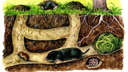 Кроты создают сложную систему ходов, центром которой является спальня, обустроенная под деревом или кустом.