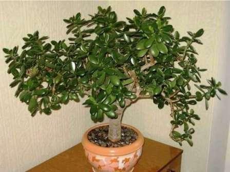 Это растение есть сегодня почти в каждом доме