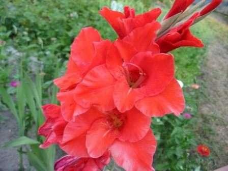 Добавить изысканность в оформление дачи призван многолетний цветок под названием гладиолус.