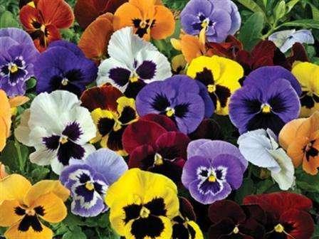 Название «анютины глазки» известно каждому садоводу. Этот многолетний цветок входит в большинство каталогов любимых декоративных культур для дачи.