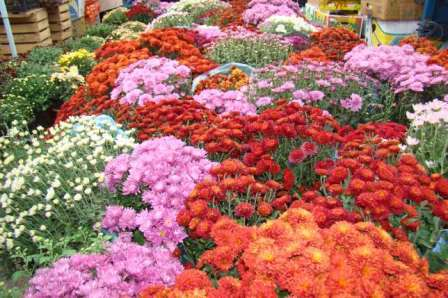 Нельзя не упомянуть среди многолетних цветов для дачи хризантемы.