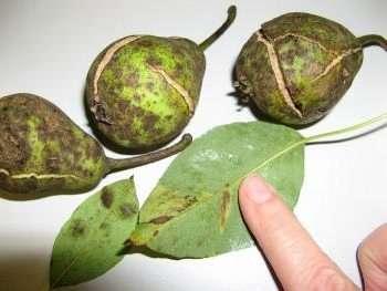 Если на листьях груши замечены коричневые наросты, как на фотографии, значит, вы столкнулись с паршой.