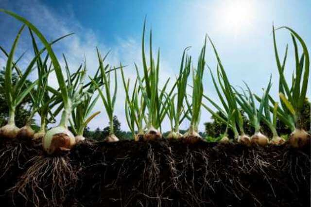 Сбор урожая лука и его правильное хранение