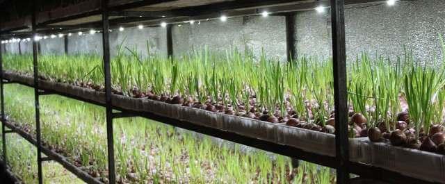 выращивание рассады лука порея в домашних условиях