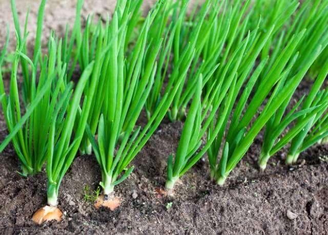 Особенности выращивания лука на дачном участке