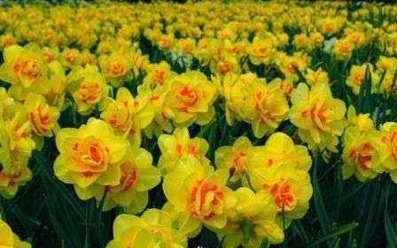 Цветок отлично сочетается с другими весенними цветами в клумбах различных форматов.