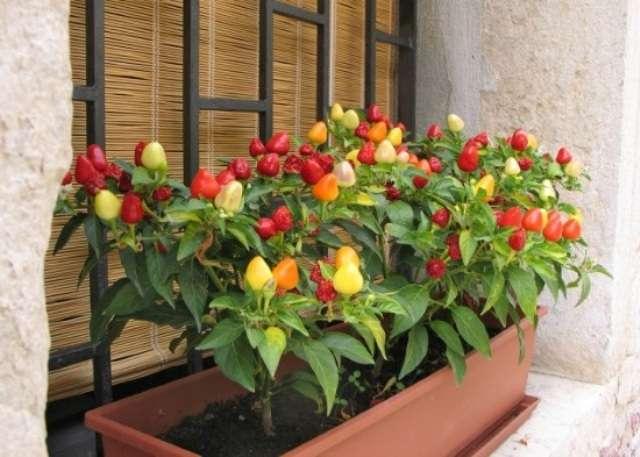 Комнатный горький перец выращивание в домашних условиях