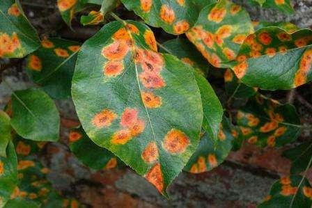 Эту болезни груши легче всего идентифицировать. Она проявляется рыжими пятнами на листьях.