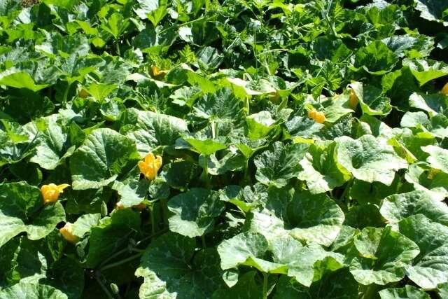 Тыква выращивание и уход в открытом грунте, особенности и сорта