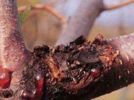 Еще одно часто встречающееся грибковое заболевание садовых деревьев, в частности груши.