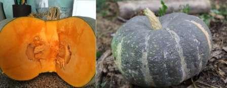 Переходя к описанию плода, важно отметить в первую очередь его габариты: минимальный вес одной тыковки — 6 кг.