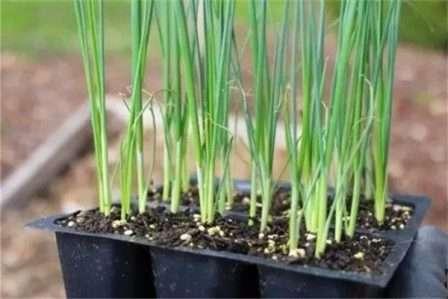 При появлении над землей колечек молодых росточков лука, укрытие снимают. Температуру воздуха лучше понизить до 10-20 °С, чтобы рассада не вытягивалась.