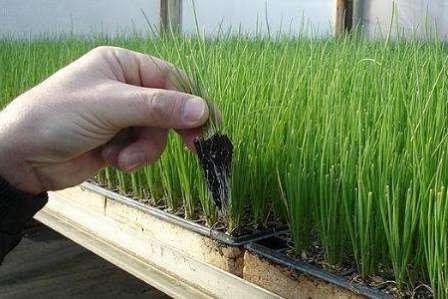 Некоторые агрономы утверждают, что современные гибриды лука можно вырастить всего за один сезон не только без севка, но даже без рассады — прямой посадкой семян в грунт.