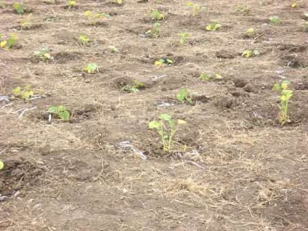 Чтобы тыква быстро пошла в рост в открытом грунте, необходимо сажать рассаду или семена в теплую землю.