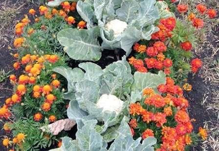 Капуста — еще одна культура, которая выращивается не только для получения ценного урожая, но и создания красивых грядок.