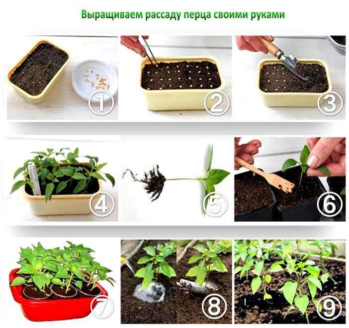 семена перца подготовка к посеву
