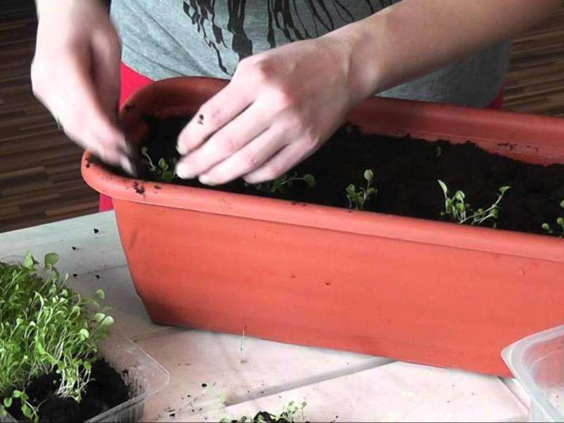 лобулярия выращивание из семян когда сажать