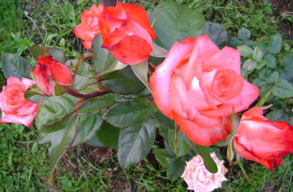 обрезка роз весной для начинающих