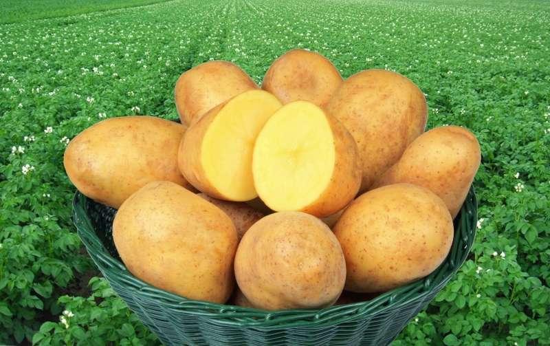 картофель адретта характеристика сорта отзывы