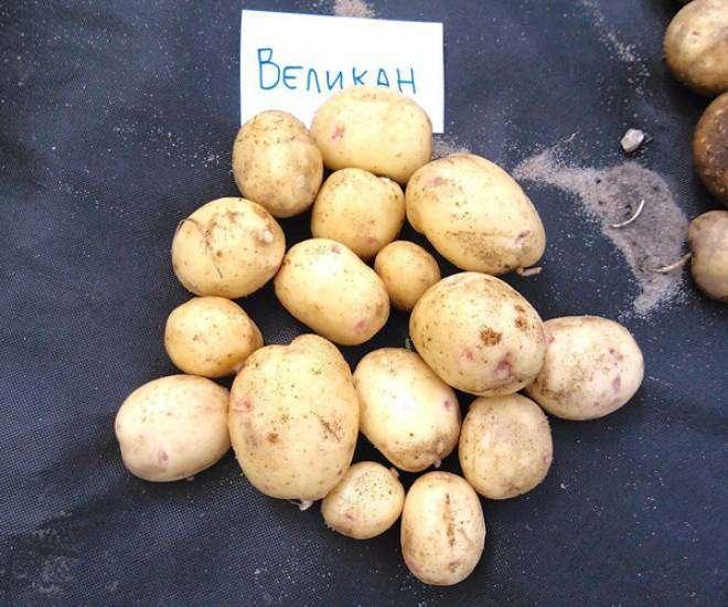 картофель великан описание сорта фото отзывы