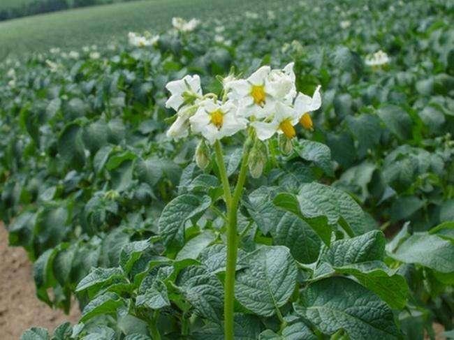 картофель джувел выращивание