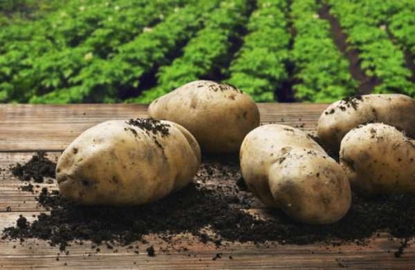 семенной картофель елизавета описание