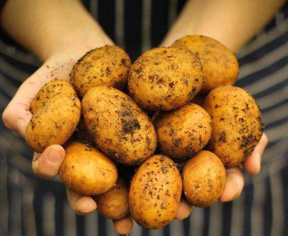 картофель ранний джувел