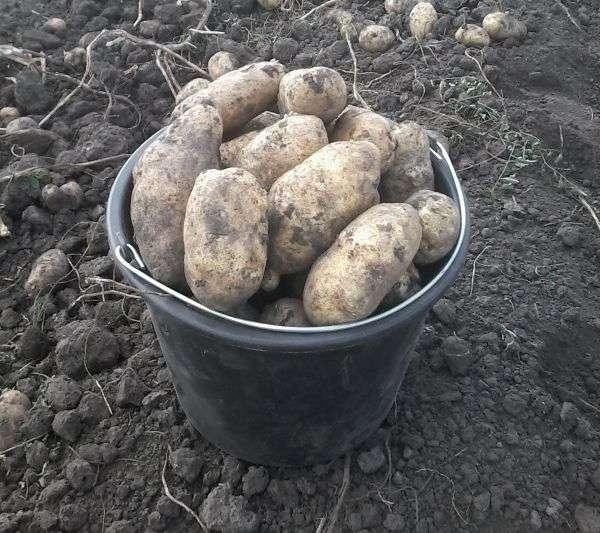картофель инноватор описание сорта фото отзывы