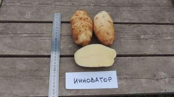 картофель инноватор характеристика сорта отзывы вкусовые качества